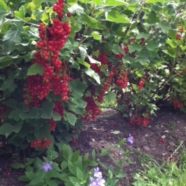 Red currants ready for picking!